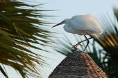 Graceful egyptian heron with white plumage stands on the straw roof in the dawn light with palms in the background poster