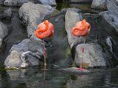two sleeping flamencos at a natural lagoon poster