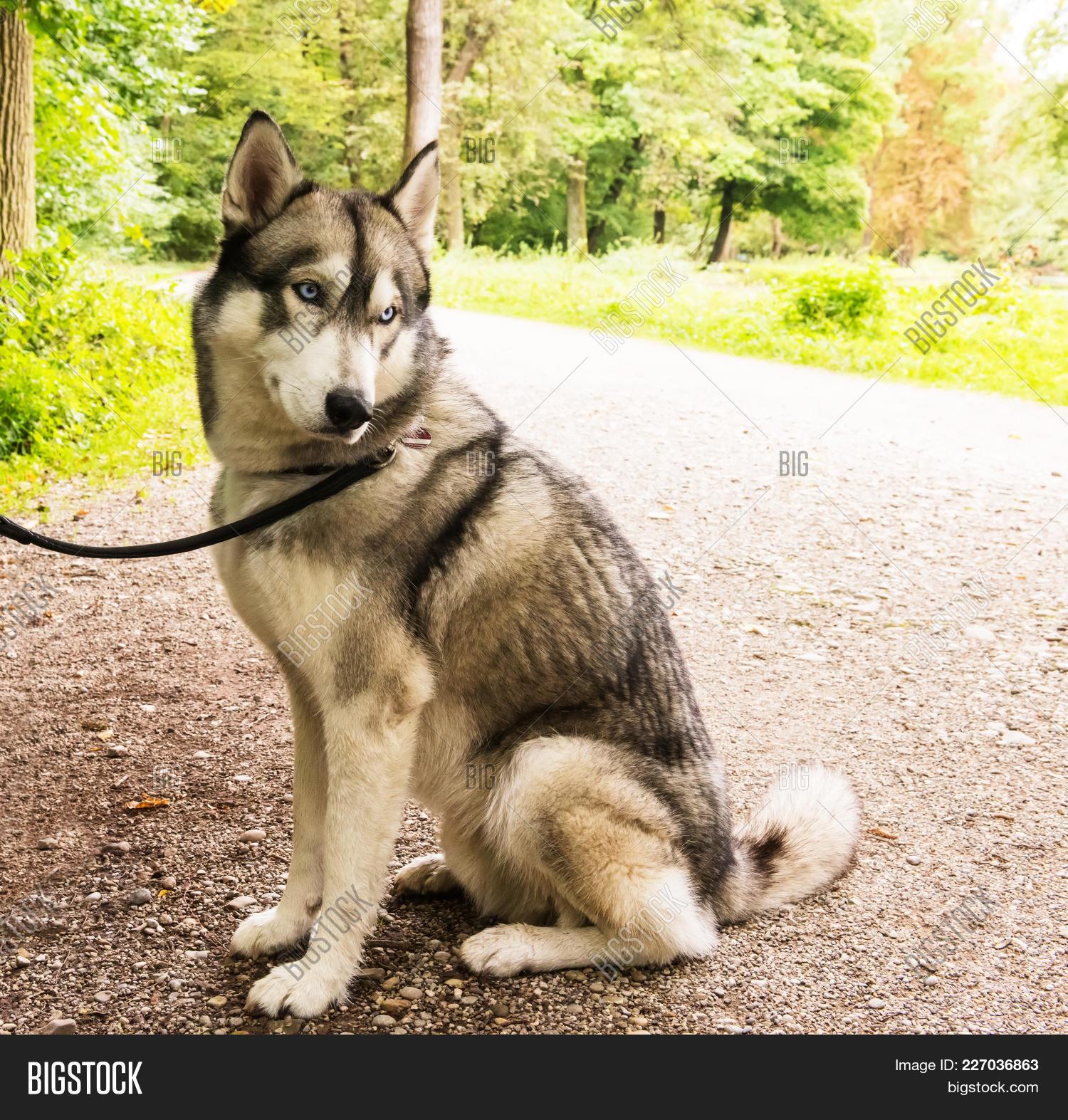 Beautiful husky dog on leash PowerPoint Template - Beautiful husky ...