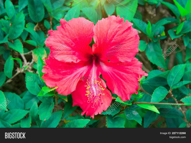 Beautiful tropical flowers bush image photo bigstock beautiful tropical flowers the bush strizhennom ratut many bright juicy colors in hot climates izmirmasajfo