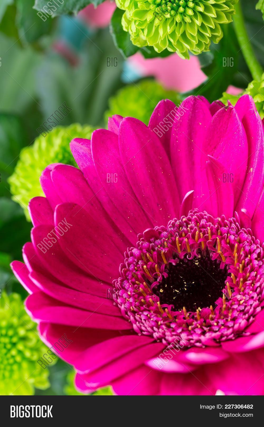 Pink Gerbera Close Image Photo Free Trial Bigstock