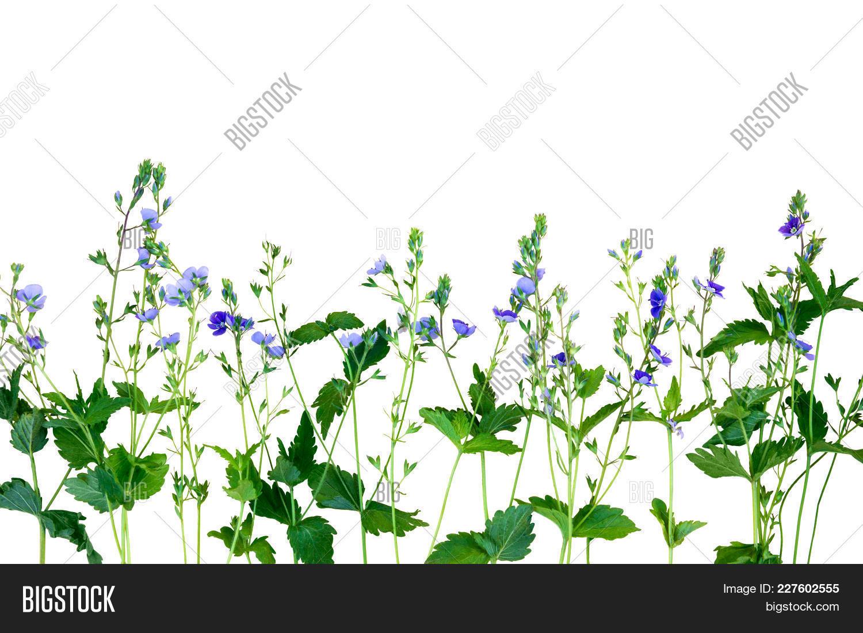 Small Purple Flowers Image Photo Free Trial Bigstock
