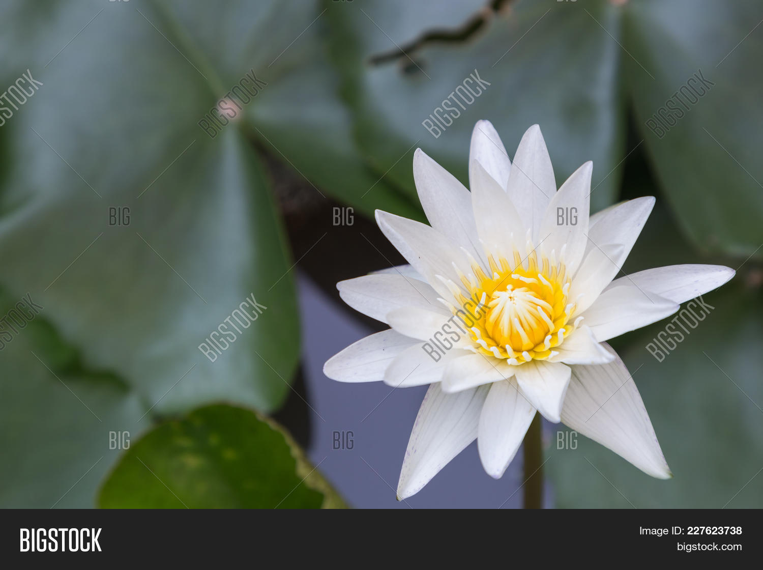 Lotus flower water image photo free trial bigstock lotus flower or water lily flower blooming with lotus leaves background in the pond at sunny izmirmasajfo