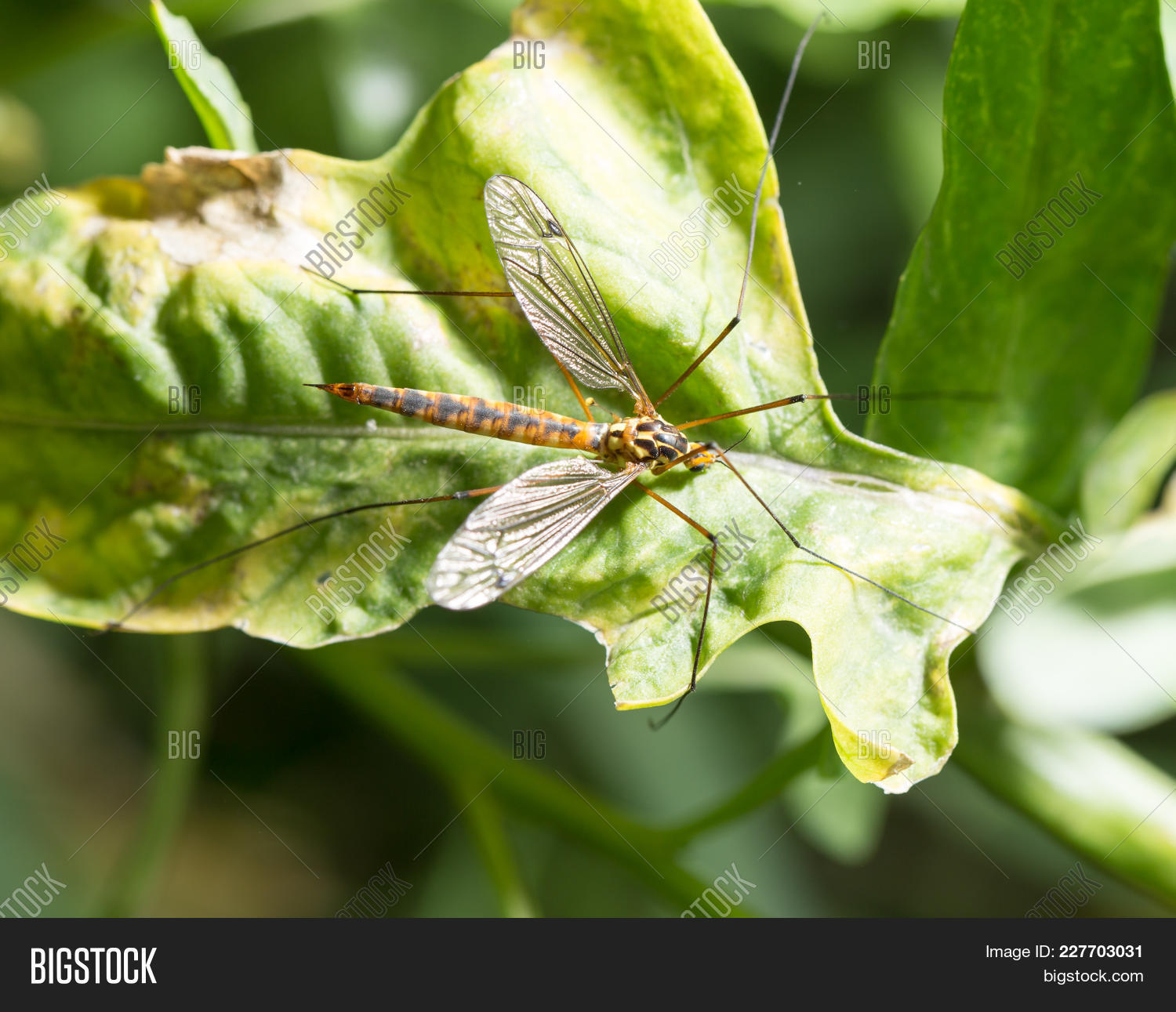Proboscis green large mosquito powerpoint template proboscis green your text toneelgroepblik Gallery