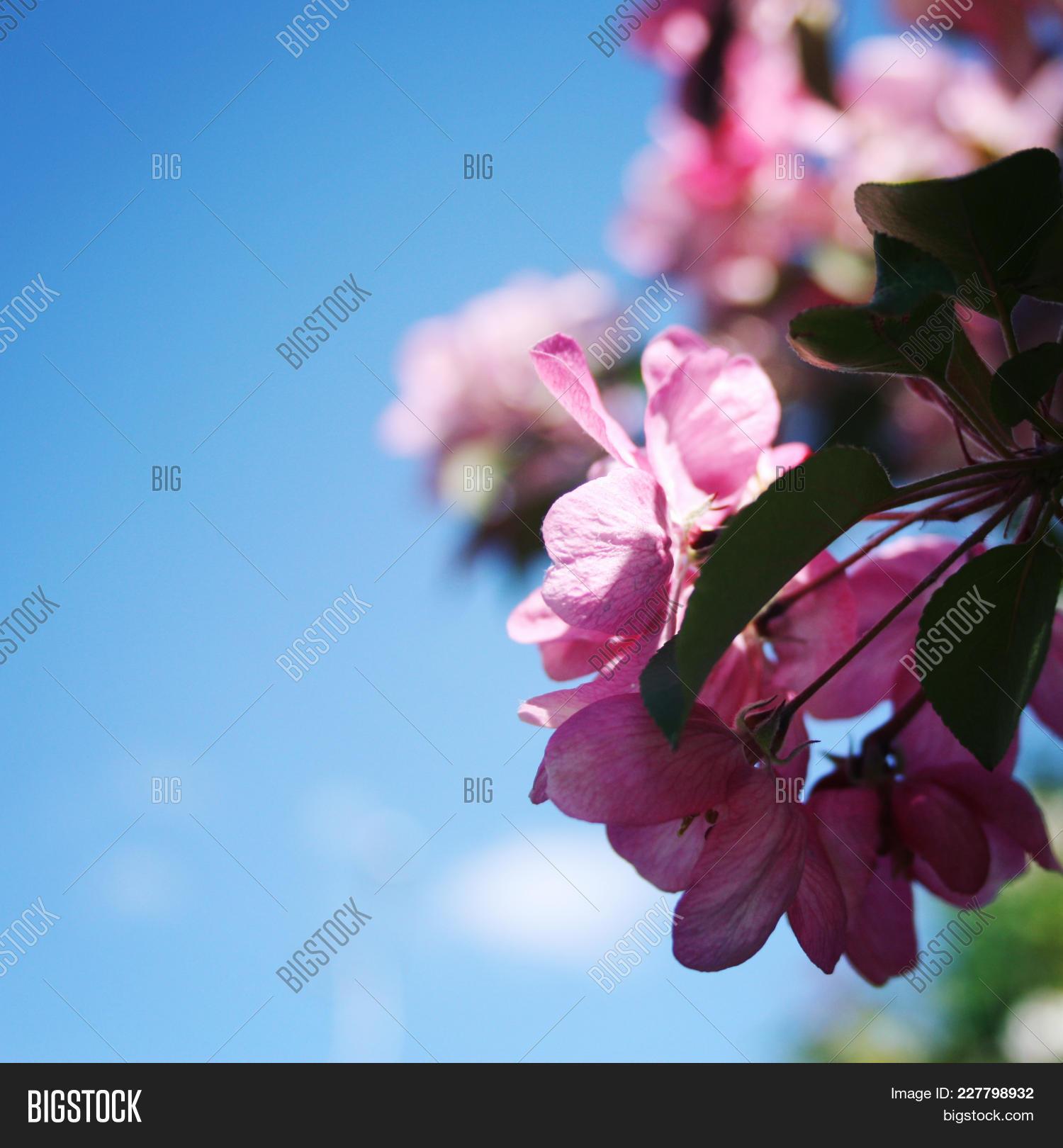 Pink Apple Flowers Image Photo Free Trial Bigstock