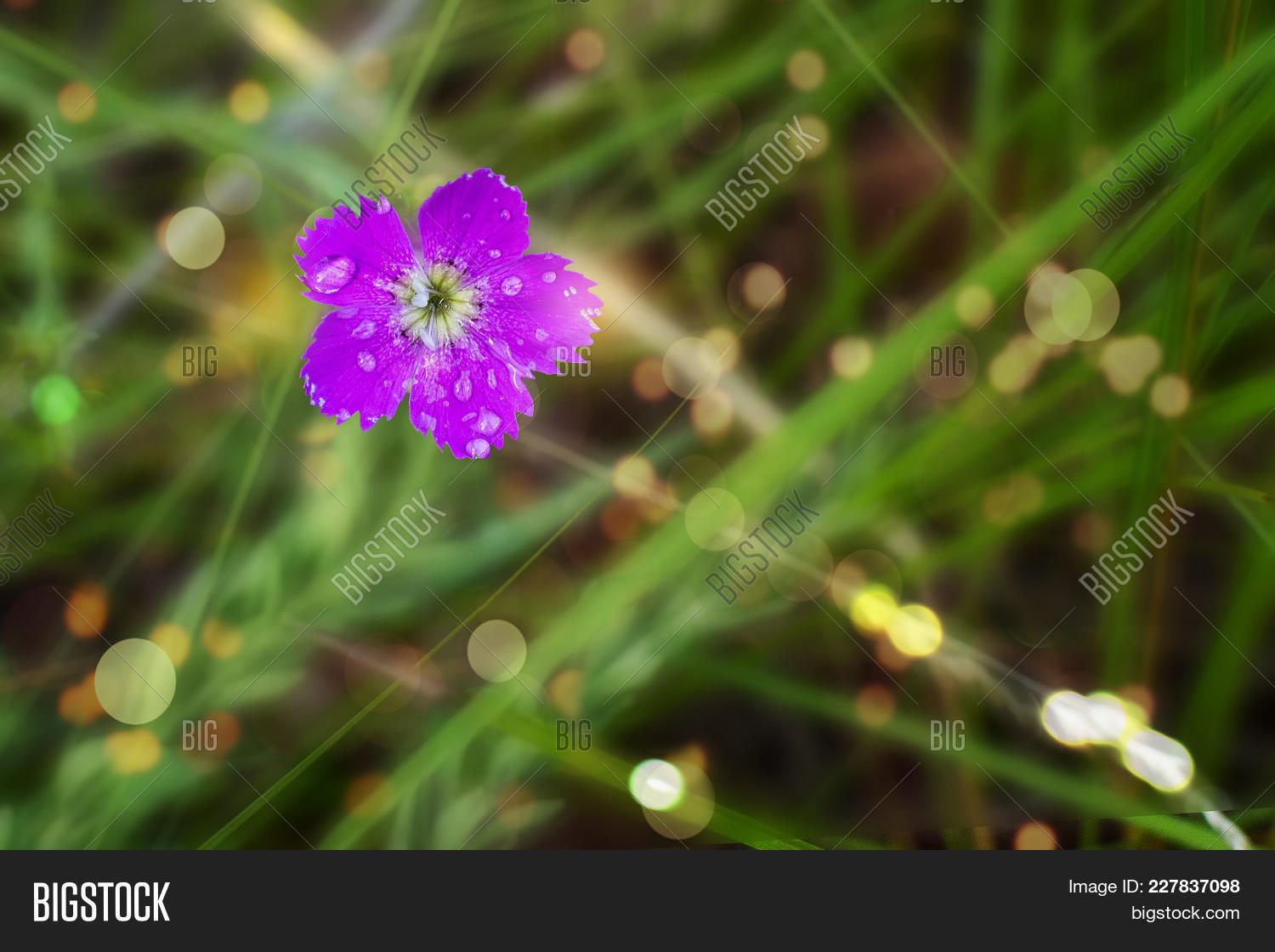 Purple Flower Dew Image Photo Free Trial Bigstock