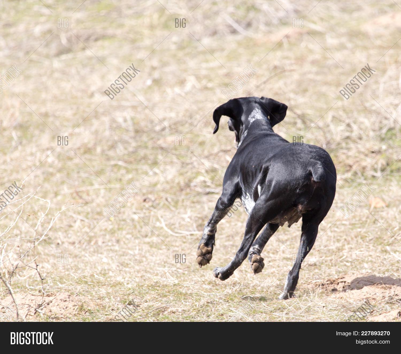 Purebred running black dog PowerPoint Template - Purebred running ...