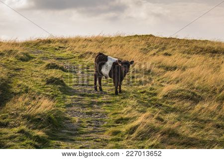 A Curious Calf On The Cleveland Way Between Clay Bank And Wainstones, North York Moors Near Stokesle