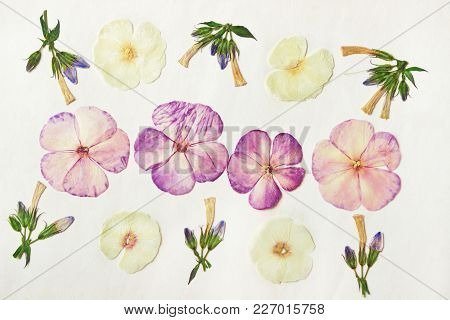 Pressed Dried Phlox Buds And Flowers. Floral Background, Backdrop For Oshibana, Scrapbooking, Herbar