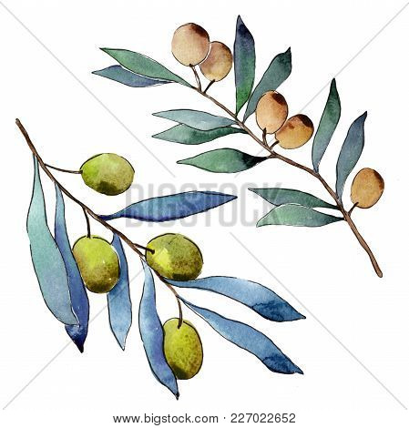 Olive Tree In A Watercolor Style Isolated. Full Name Of The Plant: Branches Of An Olive Tree. Aquare