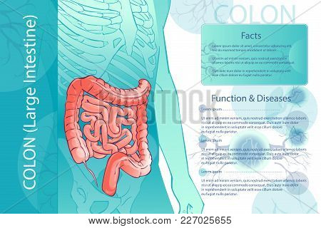3d Diagram Illustration Of The Human Colon. Internal Organs Digestive System. Template. Anatomical M