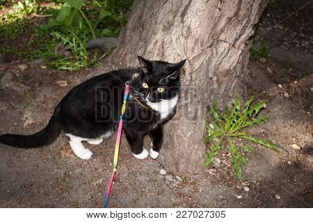 Black And White Cat Walking On The Harness Is Standing And Pressing To The Tree In A Summer.