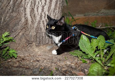Black And White Cat Walking On The Harness Is Crouching Near A Tree And Looking Intently Somewhere.