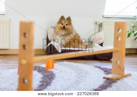 Shetland Sheepdog Sits In Front Of A Obstracle Course At Homeshetland Sheepdog Sits In Front Of A Ob