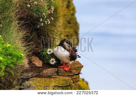 Puffin With Leucanthemum On The Cliffs In Iceland On A Sunny Day