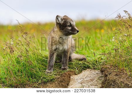 Young Playful Arctic Fox Cub In Iceland, Summer