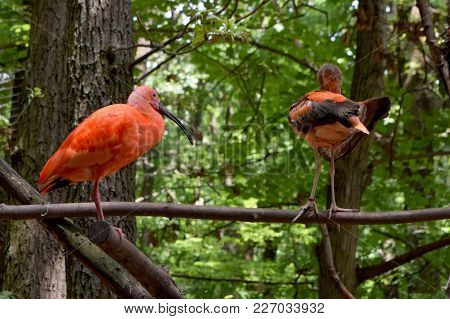 Scarlet Ibis Eudocimus Ruber Bird Sitting On A Wood Branch