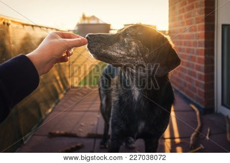 Young Australian Shepherd Dog Puppy With Big Eyes Gets Some Food As Reward In Front Of Beautiful Gol