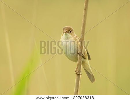 Close Up Of Reed Warbler Perched On A Reed, Uk.