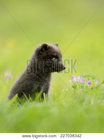 Close Up Of Blue Morph Arctic Fox Cub In The Meadow, Iceland.
