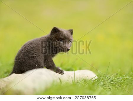 Arctic Fox Vulpes Lagopus Cub Sitting On A Log, Iceland.