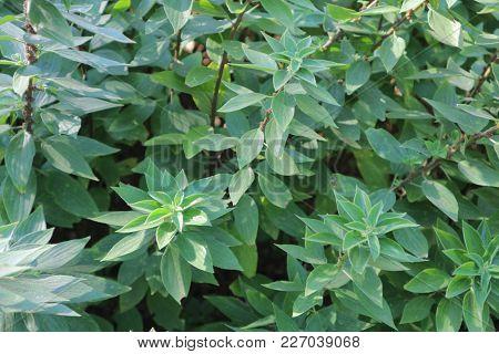 Pouzolzia Zeylanica (linnaeus) - Tropical Medicinal Plant
