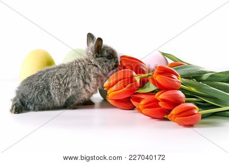 Cute Gray Baby Bunny Sniffing Tulips On White Table