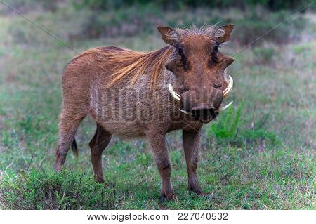 A Warthog Standing In The Bush In Africa