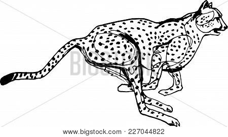 Cheetah During The Chase, Africa, Black Liner Continuous Line Illustration. Wildlife, Running Animal