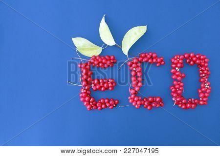 Schisandra Chinensis. Word Eco From Red Ripe Berries Of Schisandra On The Dark Blue Background. Heal