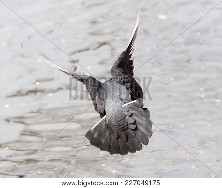 Dove In Flight In Nature . In The Park In Nature