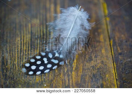 Feather From A Quail, Wood Background, Chicken, Rustic
