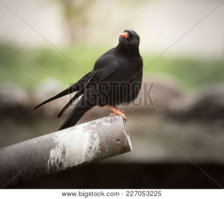 Spotless Starling Bird In Nature . In The Park In Nature