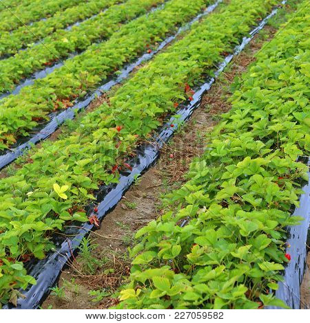 Intensive Cultivation In A Field Of Red Strawberries In The Plain