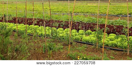 Green Lettuce And Red Chicory In Huge Vegetable Garden