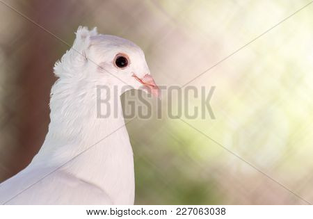 Beautiful White Dove In Nature . In The Park In Nature