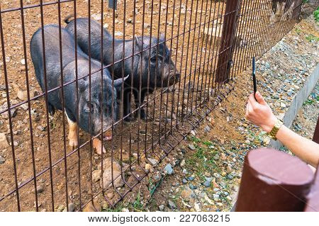 Human Makes Photo Of The Two Black Pigs In A Cage