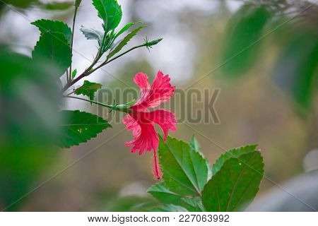 Hibiscusis A Genus Of Flowering Plants In The Mallow Family, Malvaceae. The Genus Is Quite Large, Co