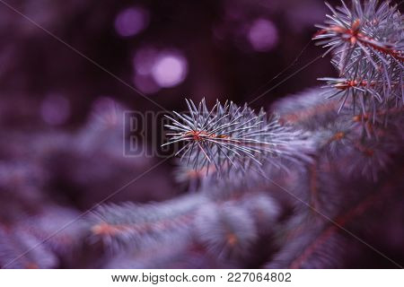 Branch Of A Coniferous Tree, Ultraviolet. Macro