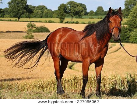Brown Quarter Horse Is Standing In A Corn Field