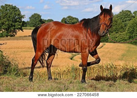 Beautiful Brown Quarter Horse Is Standing In A Beautiful Nature