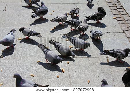Urban Pigeons Eat Feed Scattered By Passers-by