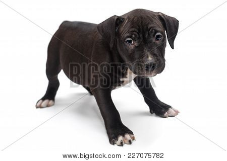 Black Staffordshire Terrier Puppy Isolated On White Background