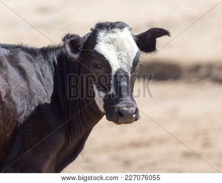 Cow In Desert . In The Park In Nature