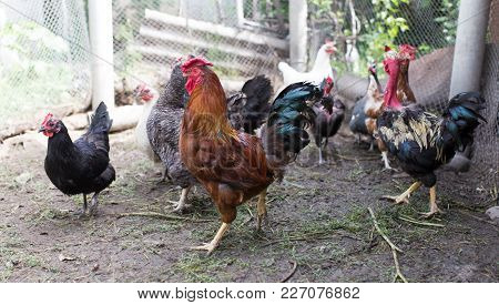 Domesticated Hen In A Farm In Nature .