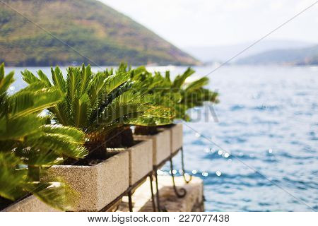 Palm Trees In Pots, Against The Background Of The Sea