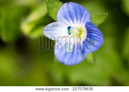 Small Blue Flower. Super Macro . In The Park In Nature