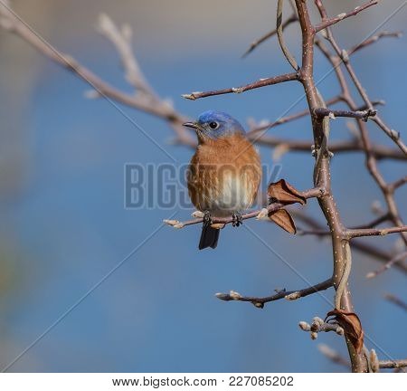 A Male Eastern Bluebird (sialis Sialis) Shown From The Front, Looking Right, Sits On A Bare Branch I