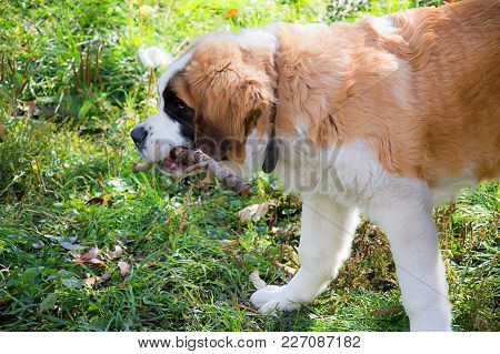 Canine St. Bernard For A Walk, Adult, On The Green Grass
