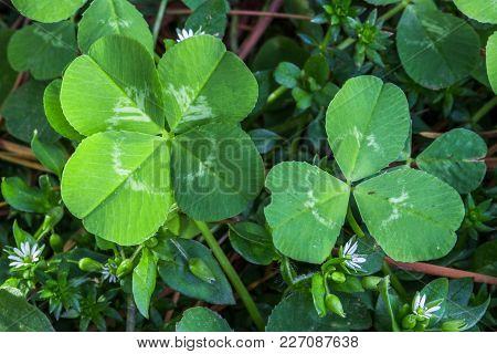 Horizontal Photo Of A Bright Green Four Leaf And Three Leaf Clover On A Bed Of Green And Brown And T